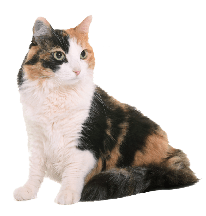 Calico cat sitting down.