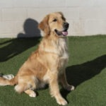Golden retriever being trained outside at Bark District.