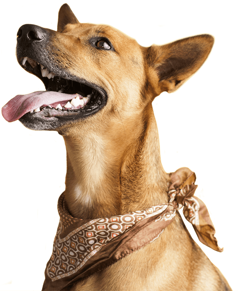 Brown dog with mouth open wearing a bandana.